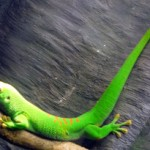 "#106 – ""GECKOS: Tails to Toepads"" Exhibit Opens Today at Fernbank Museum"